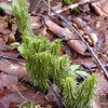Shining Club Moss growing along the path to Fall Branch Falls<br /> Cherokee National Forest, TN 2008