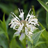Eastern Bergamot-- a white form WITH spots and a smell.