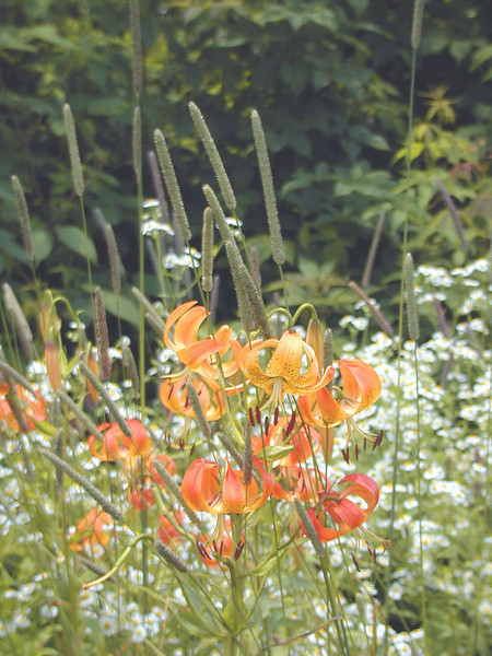 I loved the sight of this cluster of shorter turks cap lilies with heath aster and tall grasses.