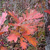 Speckled red orange oak leaves along the trail to the pond.