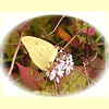 Cloudless Sulphur moth on asters near the pond.