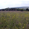 Wildflower meadow of Hooper Bald. Buttercups, red clover, blue-eyed grass, yarrow and ferns!
