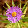 New England Aster<br /> Symphyotrichum novae-angliae<br /> Asteraceae