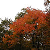 Fiery red orange of sugar maple over the Huckleberry trail.