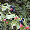 Blackberries ripening. I had all I wanted to eat!<br /> They were good. Found them at Millers Chapel.