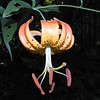 Carolina Lily <br /> I saw about 4 of these beauties today.<br /> Lilium michauxii<br /> They are smaller and most are more deeply colored than turks cap lilies. They often  have a two toned appearance when viewed from the side.