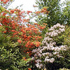 Contrast of bold orange azaleas  and pale pink mountain laurel.