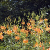 Mass of Turks Cap lilies.<br /> I had never seen this many in one place before.<br /> So many I finally quit counting and quit taking photos of every one.