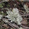 Just one of several types of lichens found in the woods here.  <br /> Cherokee National Forest, TN 2008
