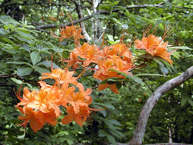 Closeup view of the azaleas along the trail.
