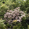 Large healthy mountain laurel still going strong in bloom!