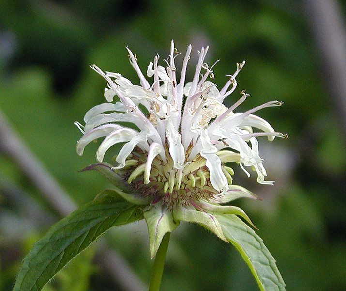 Basil Bee Balm --a white form without spots and with a smell