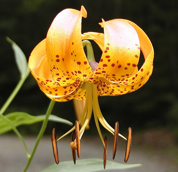 Close up of Turks Cap Lily. I saw these starting along the Skyway in one place once I crossed over into NC. This particular one is along FR 81F