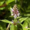 American Germander or Clingman's Hedge Nettle. Now I'm not sure.<br /> It looks too much like Clingman's Hedge nettle to me after all.<br /> sigh.