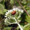 White Yarrow and a red lady bug!