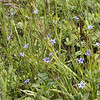 Blue-eyed grass was all over the place on the bald.