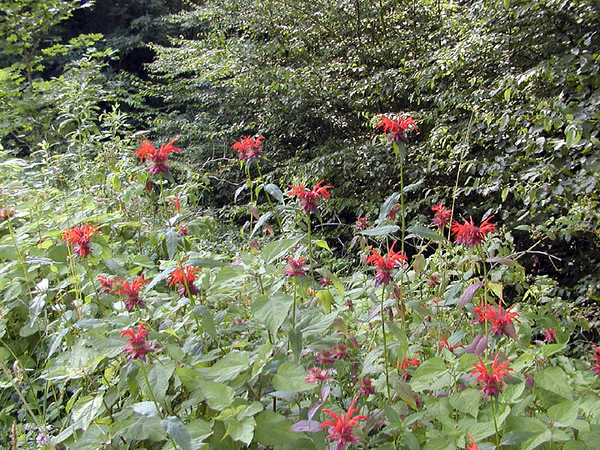 I saw masses of Crimson Bee Balm everywhere I looked once I got into the higher elevations along the Skyway and on the side roads. I even saw it up on Bob Stratton Bald!