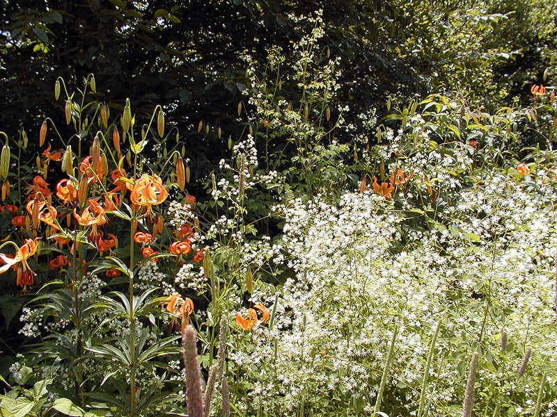 Turks Cap Lilies and Tall Meadow Rue