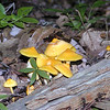 Bright yellow mushrooms near the trail junction