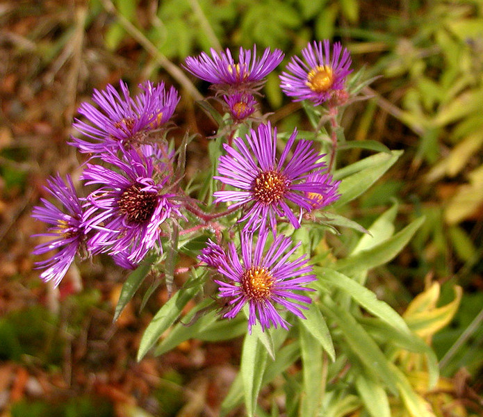 First time ever seeing New England Aster near Hooper Bald.