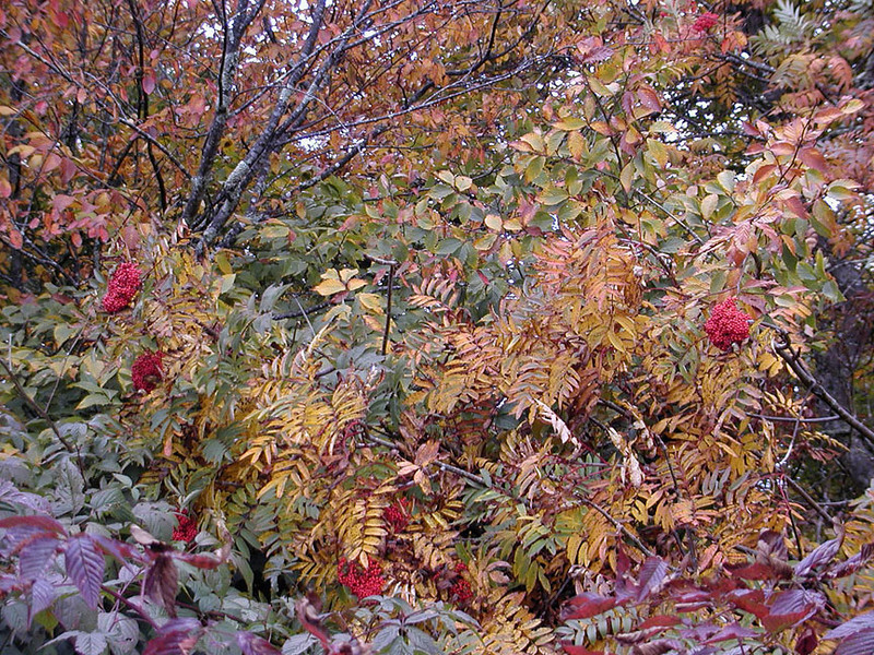 My first sighting of Mountain Ash this year.  It has already  turned golden.  I thought of Kimberli the minute I saw this. She likes it so much.<br /> This is along one side of Huckleberry Knob.