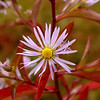 Aster species with white rays and red foliage!