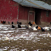 Chickens and roosters! Lots of 'em. Rhode Island reds, Leghorns, Bantams, and Dominickers.