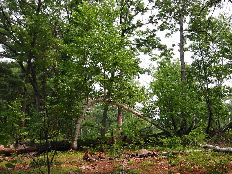 Lynnwood Park.  Bent tree