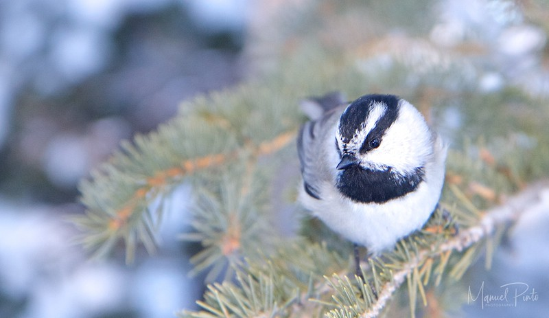 """A very friendly snow bird.  He kept on following me...and trying to sit as close as possible to the camera lens.  This lasted about 10 minutes!<br /> <br /> Black-capped Chickadee<br /> <a href=""""http://www.allaboutbirds.org/guide/Black-capped_Chickadee/id"""">http://www.allaboutbirds.org/guide/Black-capped_Chickadee/id</a>"""