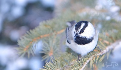 A very friendly snow bird.  He kept on following me...and trying to sit as close as possible to the camera lens.  This lasted about 10 minutes!  Black-capped Chickadee http://www.allaboutbirds.org/guide/Black-capped_Chickadee/id