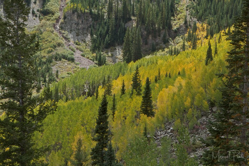 Aspen Trees changing colors
