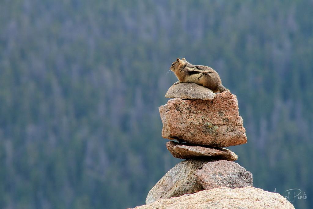 Meditating Chipmunk, 2012