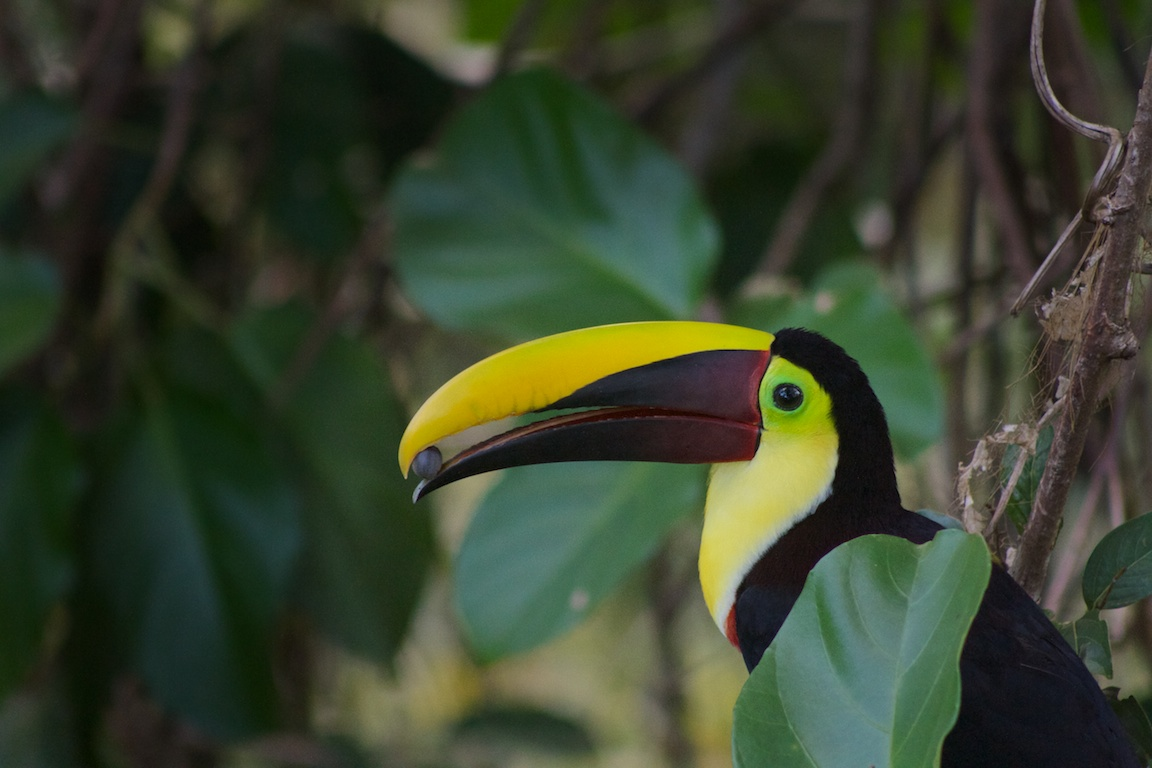 Berry time for the toucans