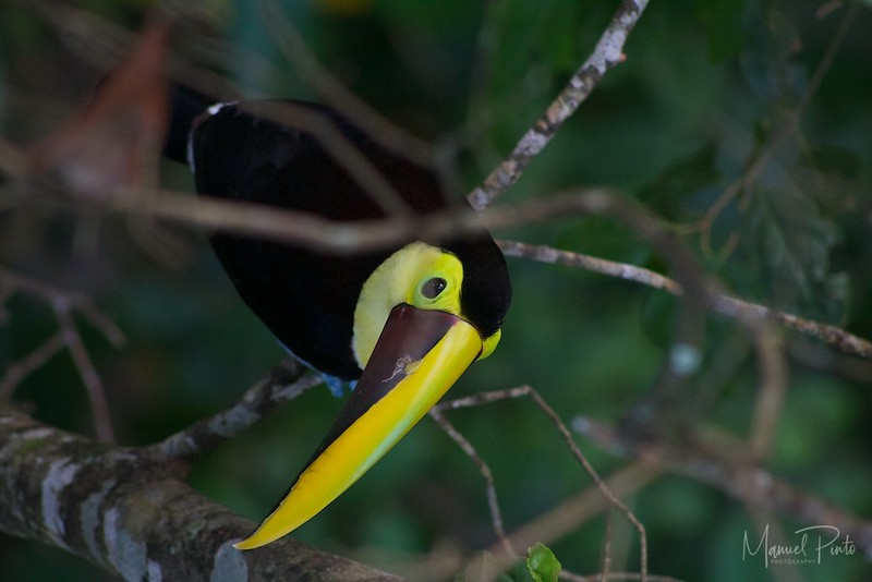 and then came the toucans..... all three kind.  This is the Chestnut Mandibled Toucan.....  sittingj ust  below us eating berries from a tree.