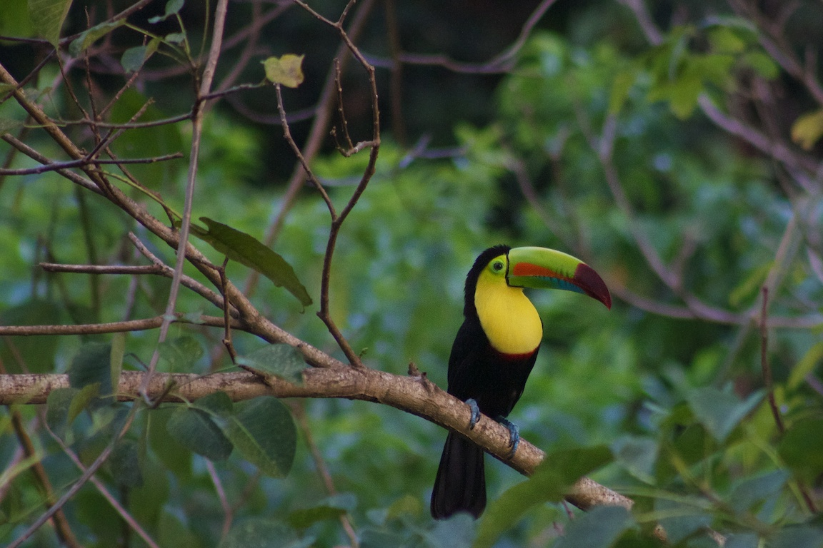 The Keel Billed Toucan