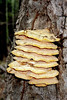 Layers of fungus on a tree.