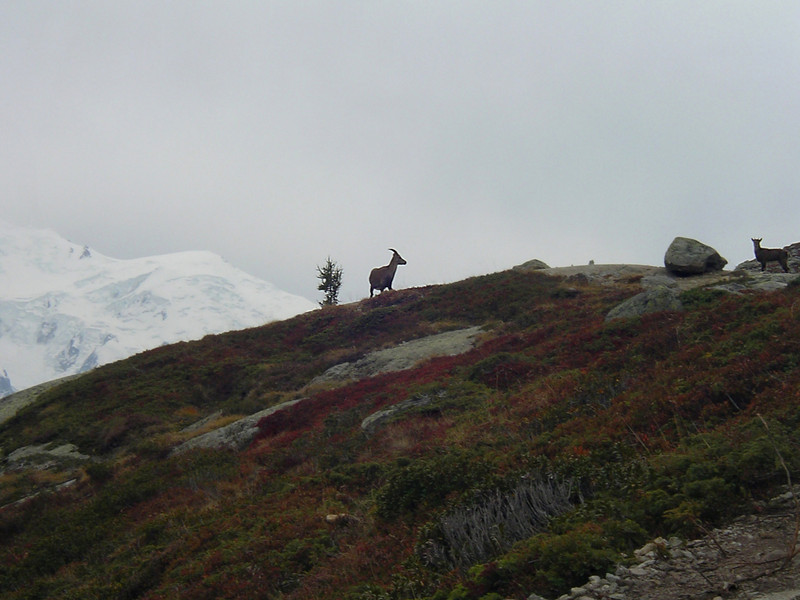 We saw several groups of Ibexes on the way.