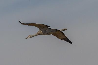 Merced Wetlands / Sandhill Cranes Nov 4 2016