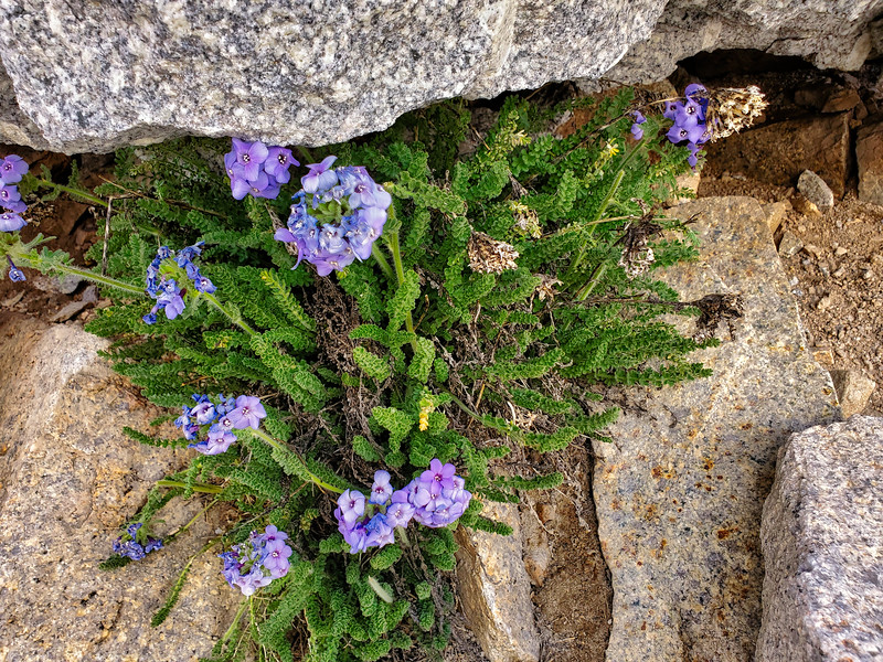 Flowers growing at 14,000 ft. in the cracks of the rocks