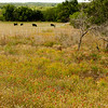 Field of wildflowers and cattle, Willow City Road, near Fredericksburg, TX