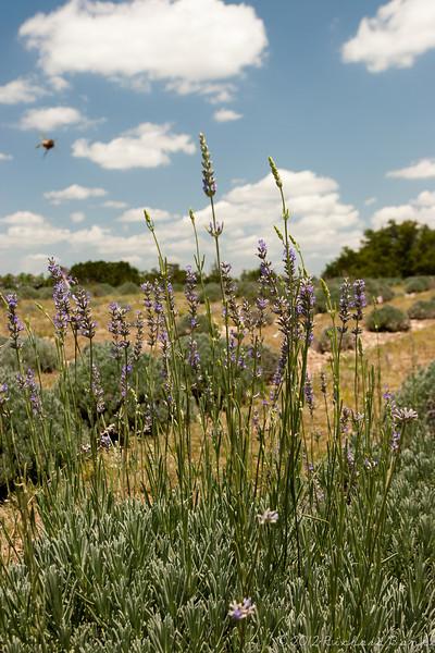 A bee approaches a lavender plant, lavender farm near Fredericksburg, TX