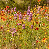 Wildflowers on a Texas Hill Country roadside near Fredericksburg.  Flowers include Blankflowers, Gaillardia, Lemon Mint, Coneflowers (Mexican Hats), and others.