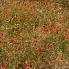 Field of wildflowers near Fredericksburg, TX