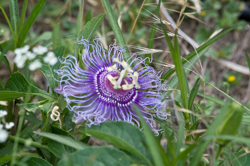 Passion Flower(?)<br /> Kerrville, Texas