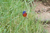 Painted Bunting<br /> Enchanted Rock State Park, Fredericksburg, Texas