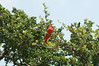 Summer Tanager<br /> Enchanted Rock State Park, Fredericksburg, Texas