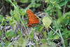 Orange butterfly<br /> Kerrville, Texas