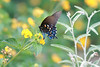 Blue butterfly<br /> Kerrville, Texas