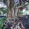 A banyan tree growth at the Liliuokalani Gardens in Hilo, Hawaii.