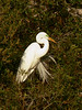 American Egret with Breeding Plumage